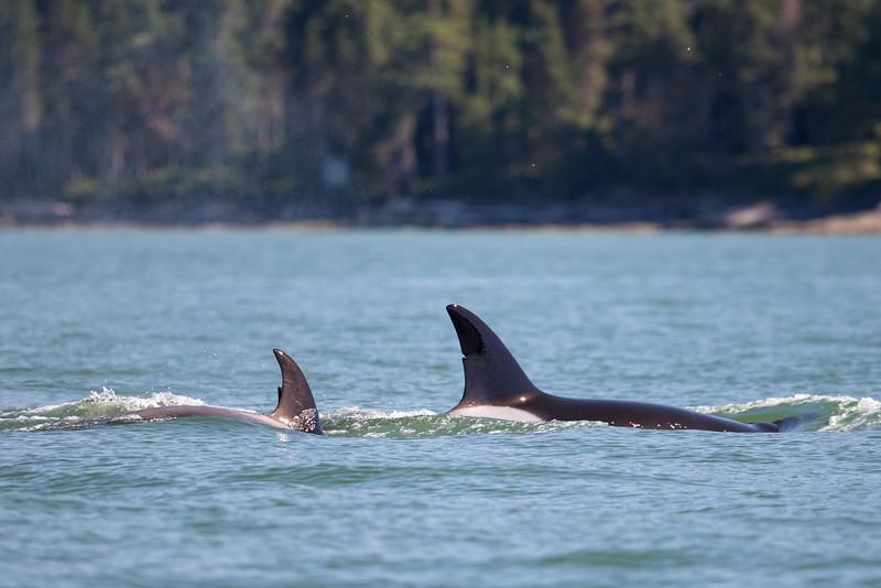 Orcas -  073115-340.jpg