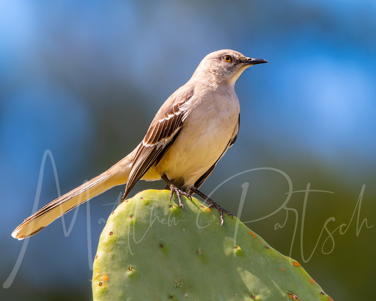 Northern Mockingbird perches on a Cactus while looking for the Cactus wren nest eggs.