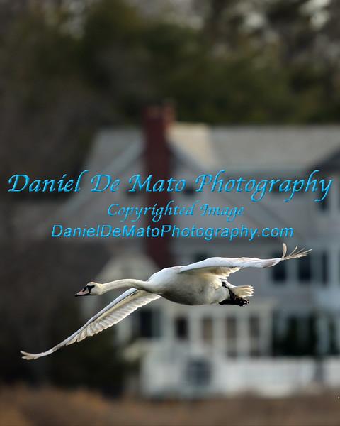 Swans and Ospreys on Nassau Point 4-18-14