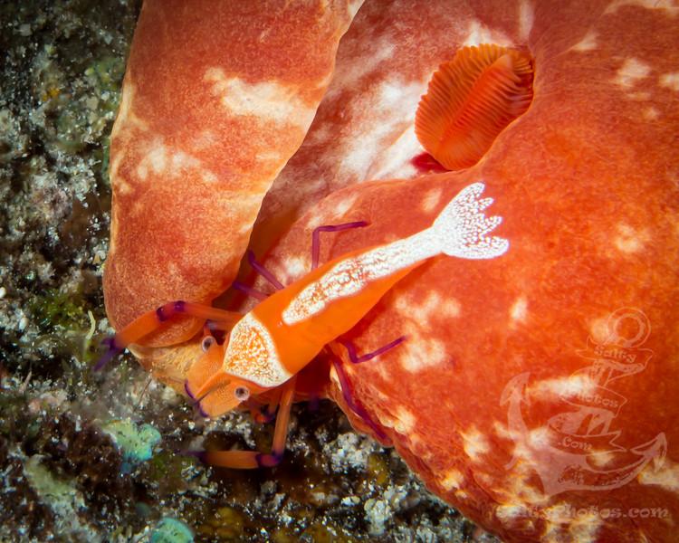 Imperial Shrimp (Periclimenes Imperator)
