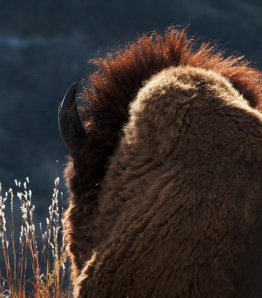 Bison backlit mane Theodore Roosevelt NP North Unit ND IMG_0030078.jpg