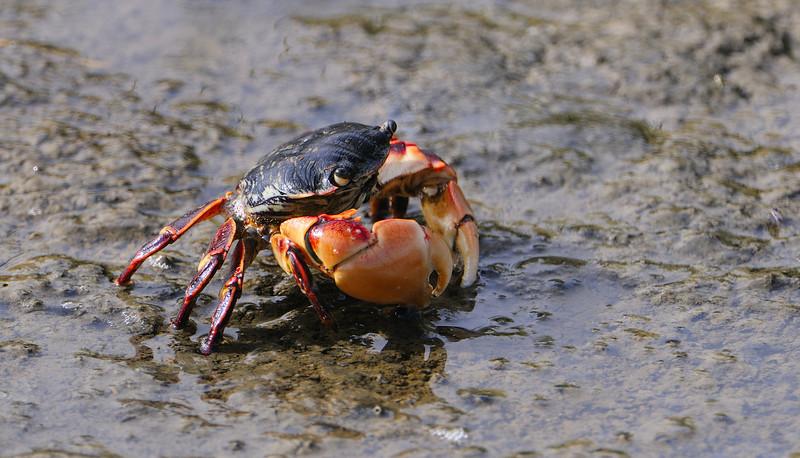 Crab_SRS6484.jpg