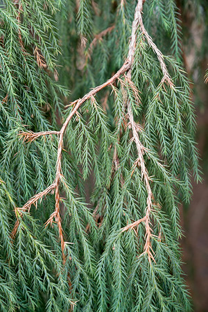Conifer at the RBGE