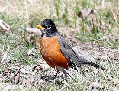 First Robin of the season.