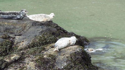 Oregon Harbor Seals