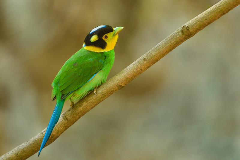 Long-tailed-broadbill-Sattal-1.jpg