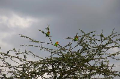 Lovebird, Fischers