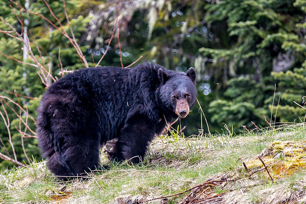 Whistler Bear PIcture