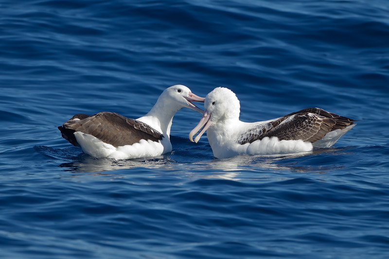 Southern Royal Albatrosses
