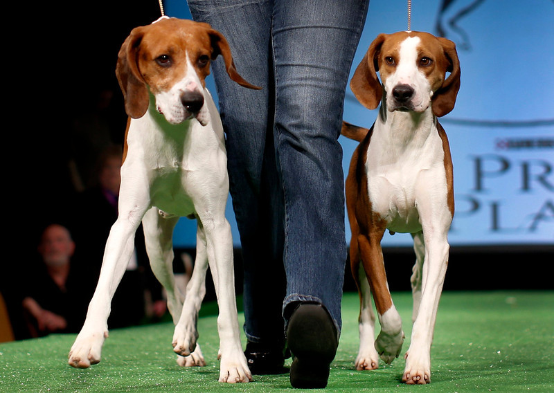 . Xcetera (L) and Meg, Treeing Walker Coonhounds are introduced during a press conference ahead of the 137th Westminster Kennel Club Dog Show in New York, February 7, 2013. Treeing Walker Coonhounds will join Russell Terriers as the two new breeds in the 137th Westminster Kennel Club Dog Show which will feature some 2,721 dogs and will be held in New York City February 11 and 12, 2013.   REUTERS/Mike Segar