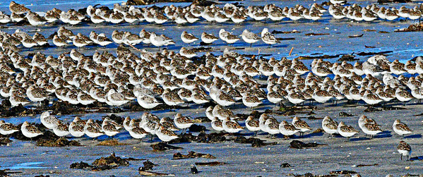 Bolivar Flats Shorebirds