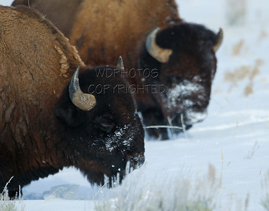 Bison (disambiguation)