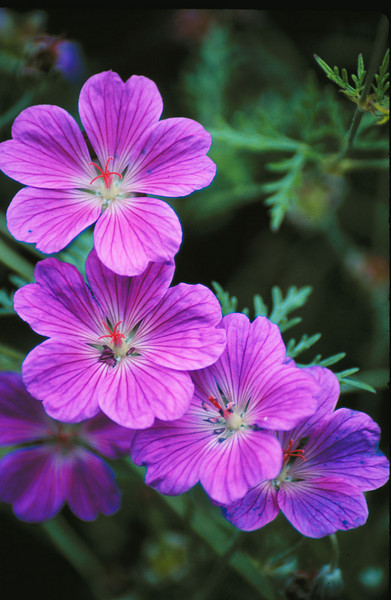 Purple wild geraniums
