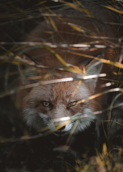 Crouching Red Fox