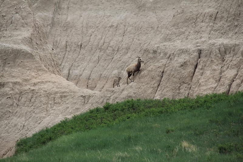 20140523-157-BadlandsNP-MountainGoats.JPG