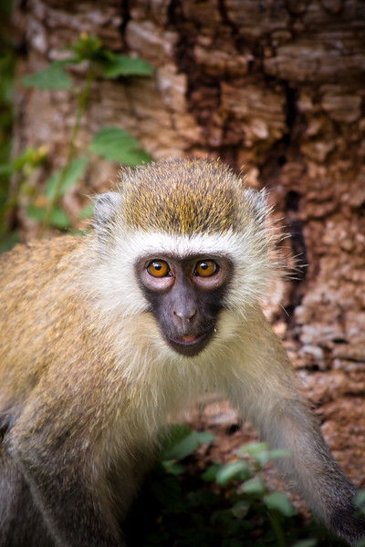 Close up photograph of a small cute monkey. Photography fine art photo prints print photos photograph photographs image images artwork.