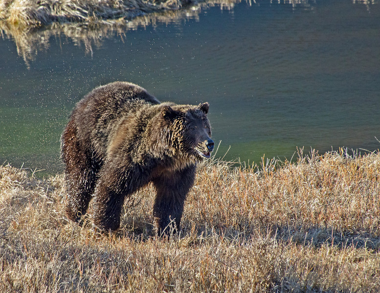 A young Grizzly early April 2013 just out of hibernation, Yellowstone NP.