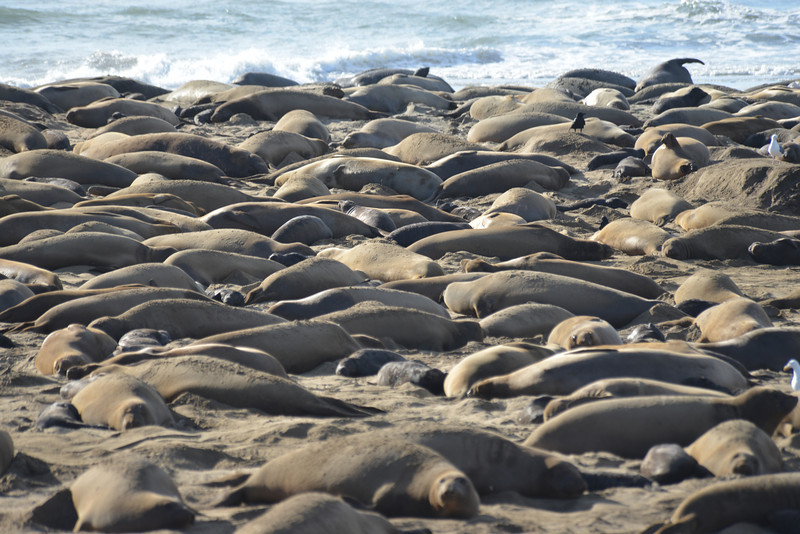 ano-nuevo-elephant-seals-2013 25.jpg