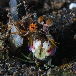 Pink-Eared Mantis Shrimp