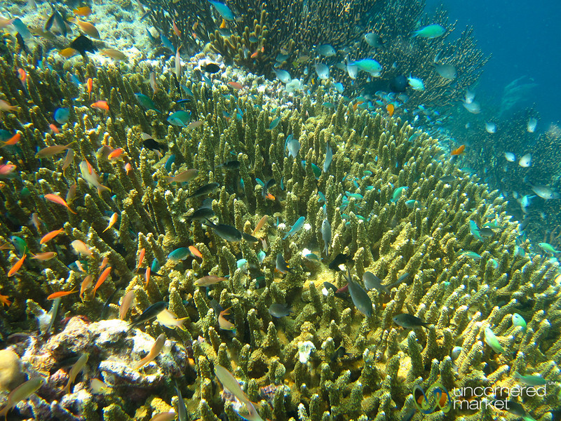 Schools of Fish at Coral - Menjangan Island, Indonesia