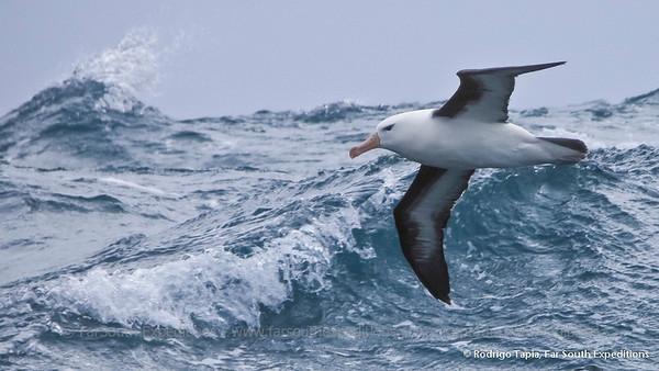 Black-browed Albatross, Albatros de Ceja Negra (Thalassarche melanophrys)