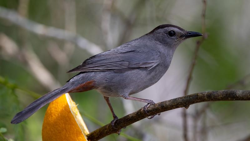 Gray Catbird @ Laguna Vista Nature Trail
