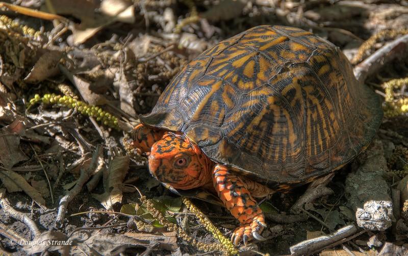Box Turtle near Cape Charles, Virginia