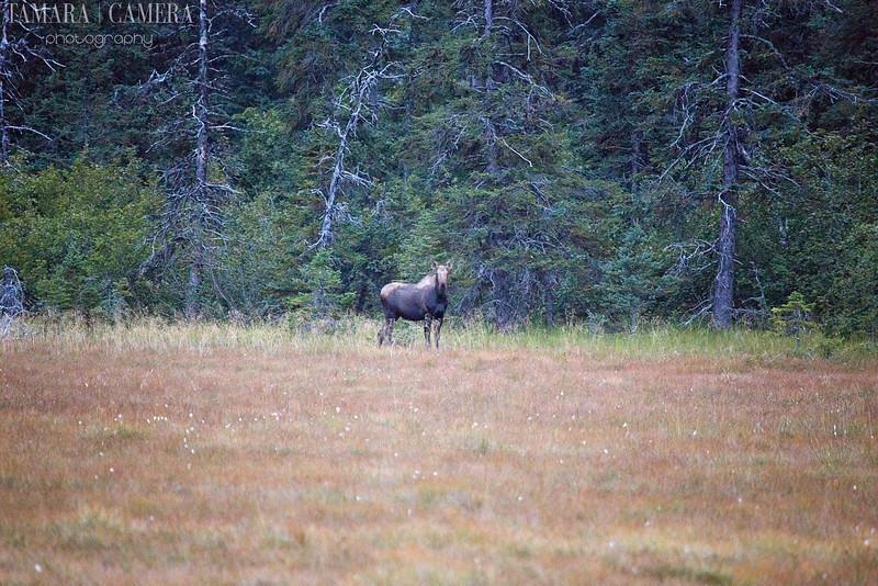 Homer Moose-2-2.jpg