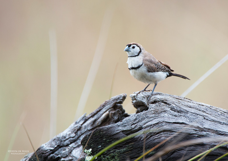 Double-barred Finch, Capertee Valley, NSW, Sep 2013.jpg