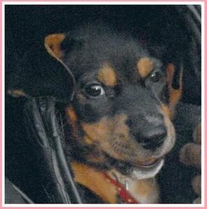 GRACIE (Rottweiler, joins Pistachio)