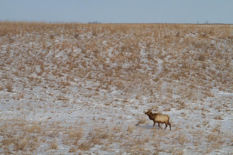 Elk bull Neal Smith National Wildlife Refuge NWR Prairie City IA IMG_2224.jpg