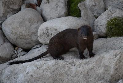 Wild Horses, Beavers, Muskrats, Turkeys, Raccoons, Weasel, Minks, Nutria Rats, Woodchucks, Rabbits, Chipmunks, Porcupines, Skunks, and Squirrels