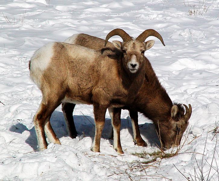 mountain goat 1.jpg