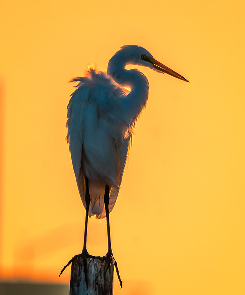 Egret golden sky 102916 - Copy.jpg