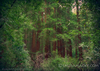 Through the Trees (Muir Woods)