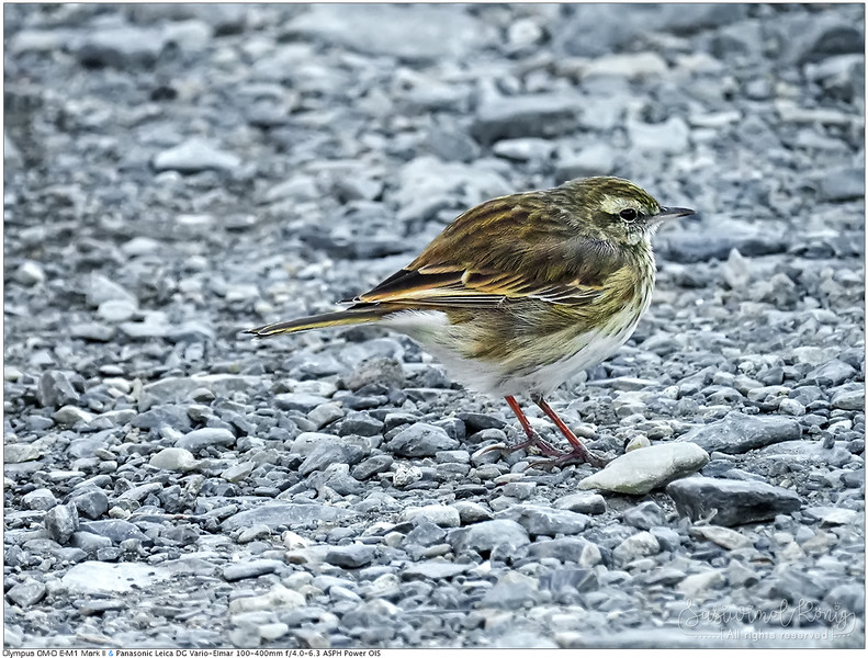 New Zealand pipit?