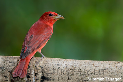 Summer Tanager, Costa Rica