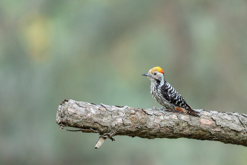 Brown-fronted-Woodpecker-Sattal.jpg