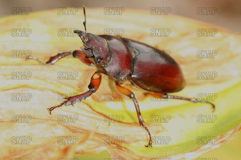Stag Beetle (Lucanus capreolus).