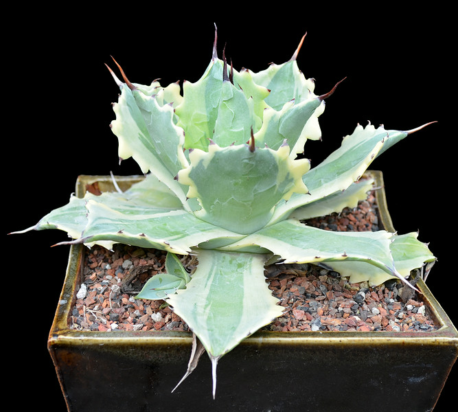 Agave potatorum v verschaffeltii (Japanese variegate)