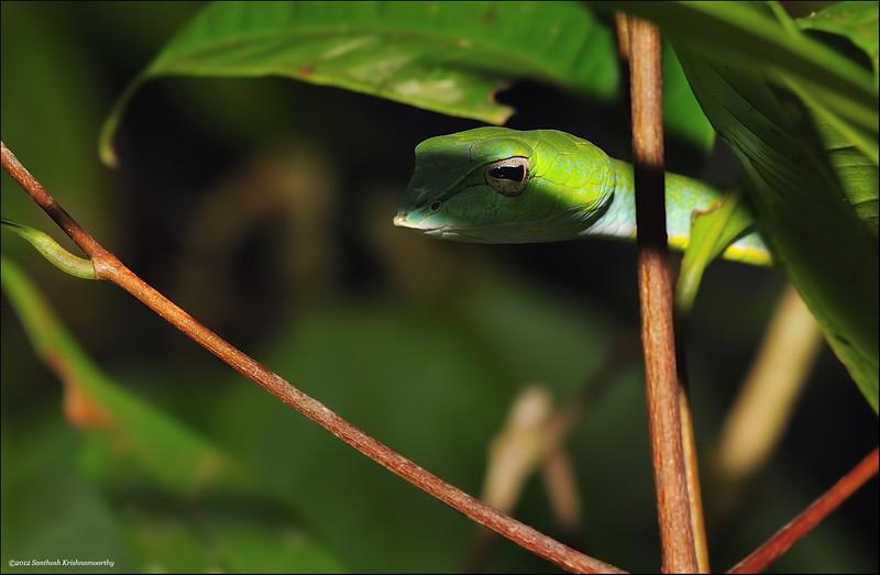 Green-vine-snake.jpg