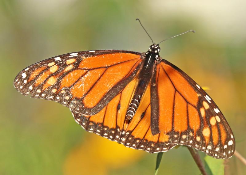 Monarch 916