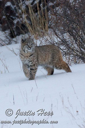 Bobcat Hunting in the Snow 03-03-2015