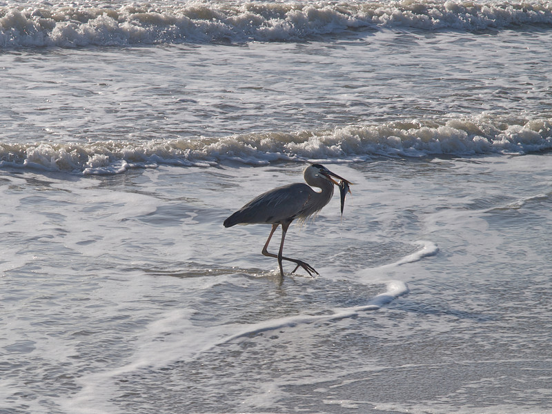 The opportunistic (lazy) egret appreciated his easy meal, first playing with it in the surf, then swallowing it whole. Cocoa Beach, Florida