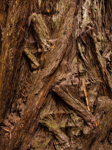 Detail of Giant Coastal Redwood Bark