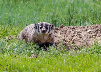 Badger - Taxidea taxus
