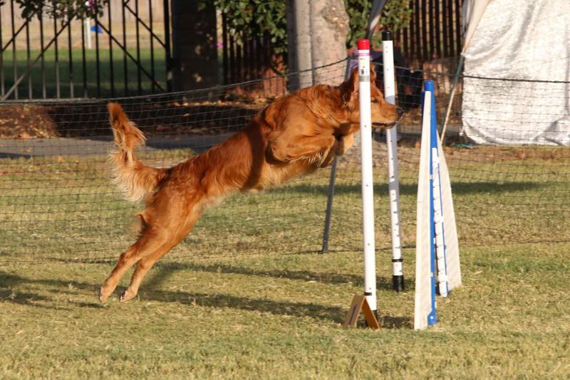 11-4-2018 Border Terrier-2663.jpg