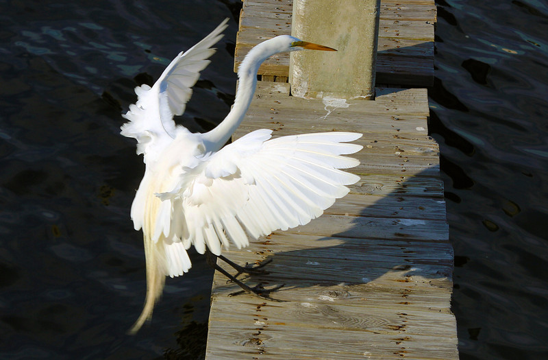 A Great White Egret lands on the dock ...