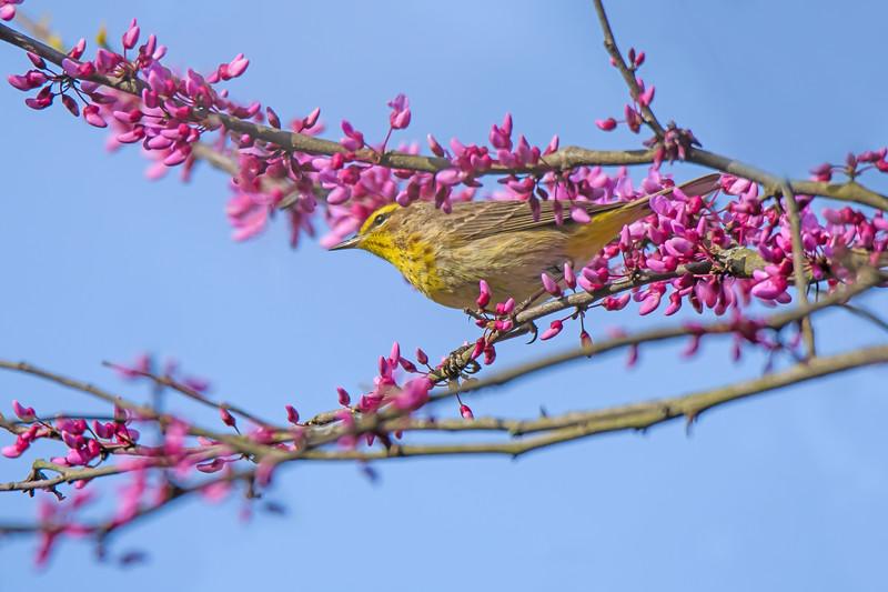 Palm Warbler in a Redbud