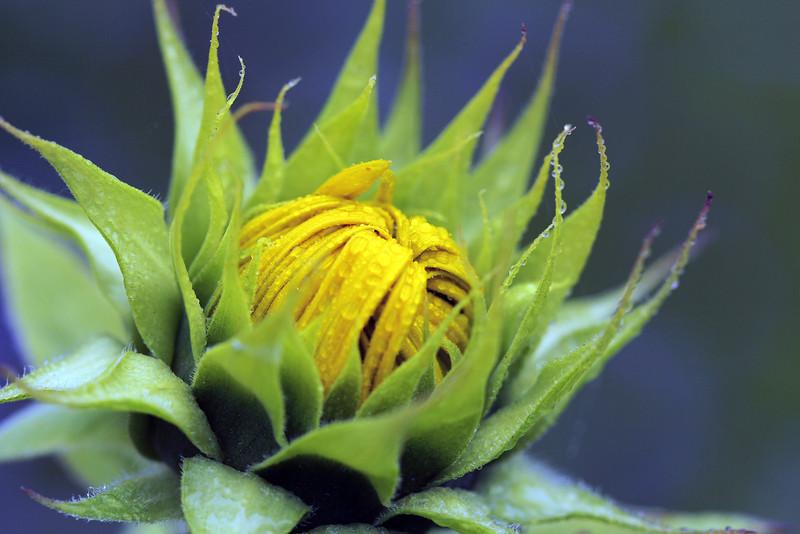sunflower 9.jpg